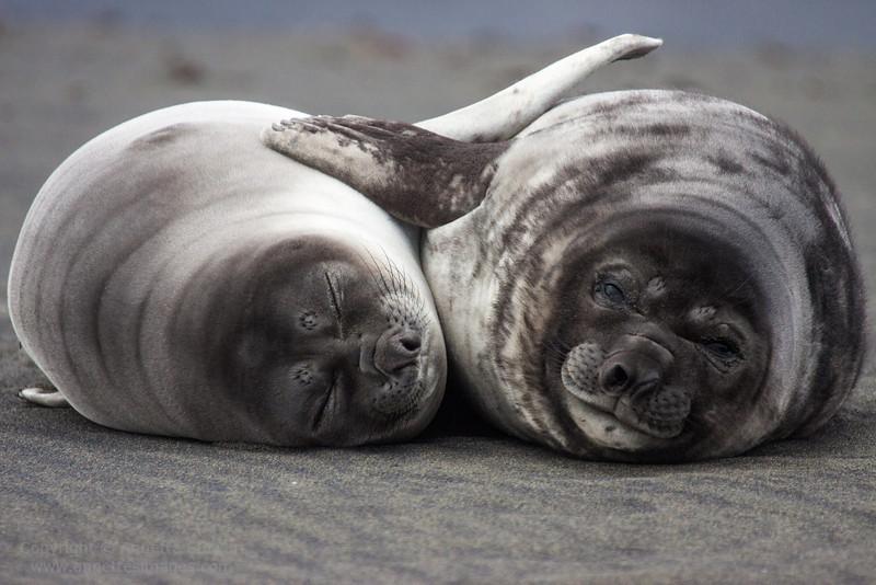 Southern elephant seal