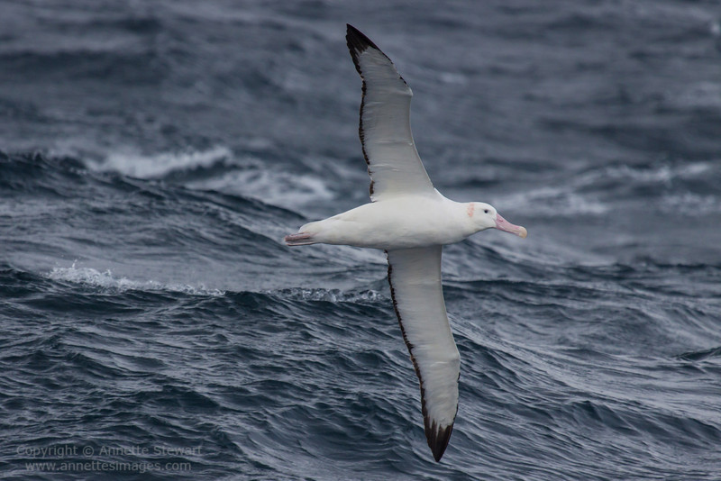 Wandering Snowy Albatross