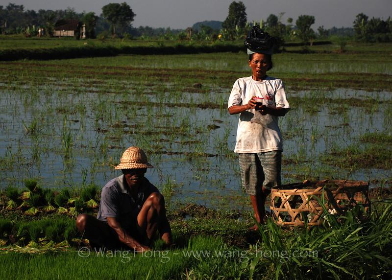 Farmers in the rice field, Ubud