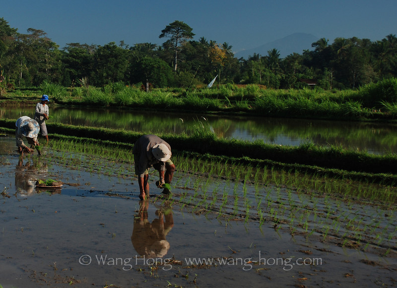 Seedling in the field, Ubud