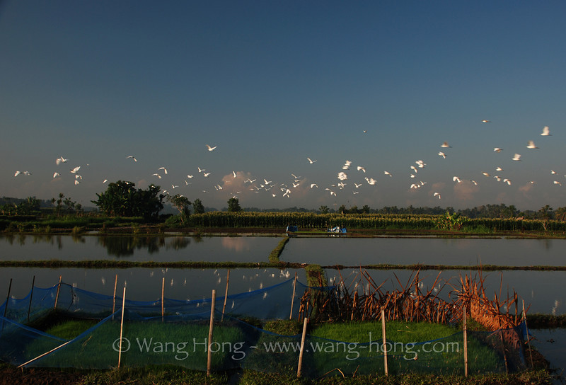 Herons over rice field in Ubud.