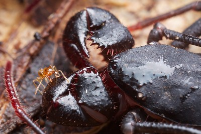 Ant climbing atop vinegaroon pedipalp