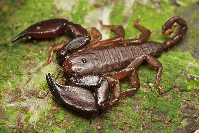 Dwarf wood scorpion (Liocheles sp.)