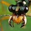 Tiger beetle (Cicindellidae)