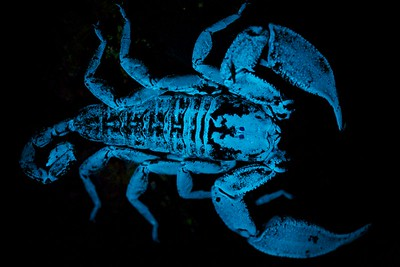 Dwarf wood spider (Liocheles sp.) under UV light