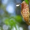 Doughnut pitcher plant (Nepenthes aristolochioides)