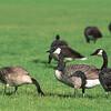 Canada geese.  Jasper, Alberta, Canada.