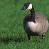 Canada goose.  Jasper, Canada.