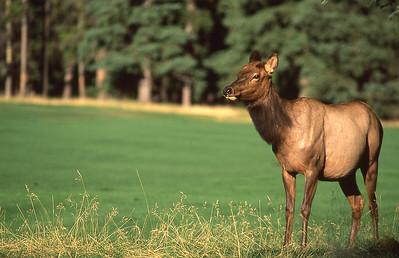 Elk doe.  Banff, Canadian Rockies, Canada.