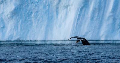 Whale fluke, Disko Bay, Greenland