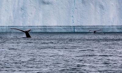 Whale flukes, Disko Bay, Greenland