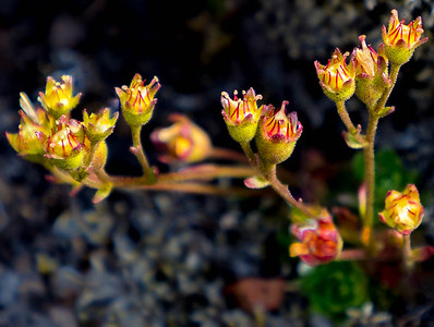 Flowers, Southern Highlands, Iceland