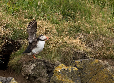 Puffin outside Dyrholaey, Iceland