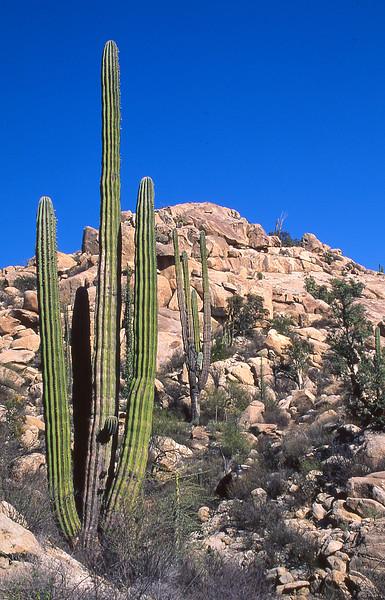 Cardon cactus.  Catavina, Baja California, Mexico