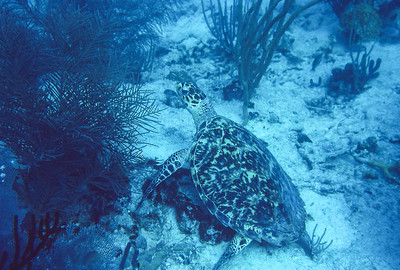 Hawksbill turtle.  This is one of my first underwater photos ever taken.  I'm breath hold diving, using natural ligh for exposure.  Cinnamon bay,  St. John Island,  US Vergin Islands.  1979