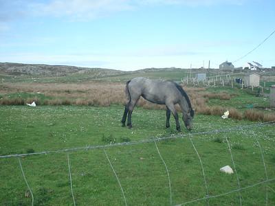 Inishbofin horse