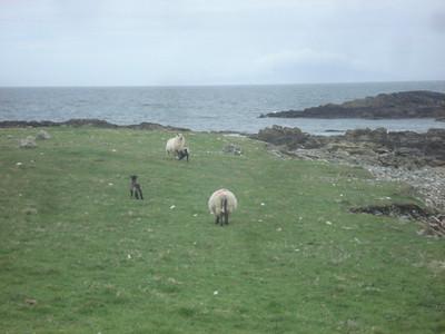 Inishbofin sheep
