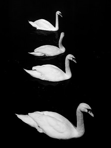Swans lit by streetlamps, River Barrow, Carlow