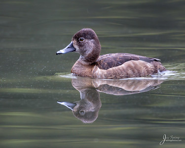 Female Ring necked Duck