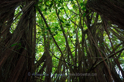 Amongst the Banyan Tree Roots