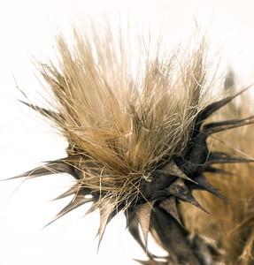 Thistle web