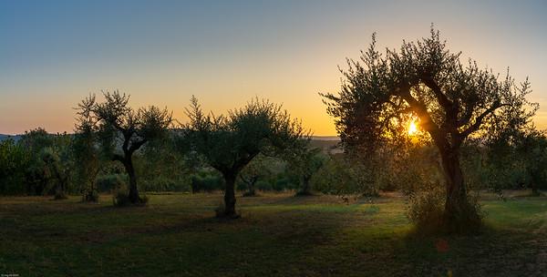 Olivenhain / Olive grove