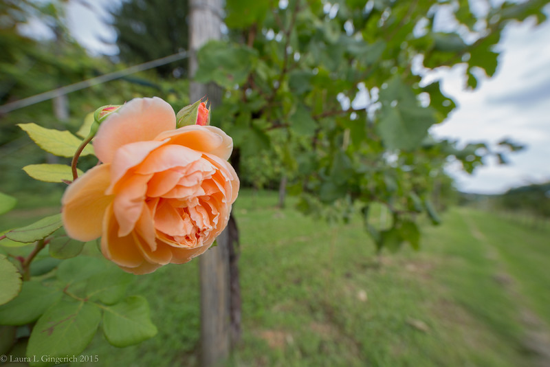 If the rose is well, so are the grapes.