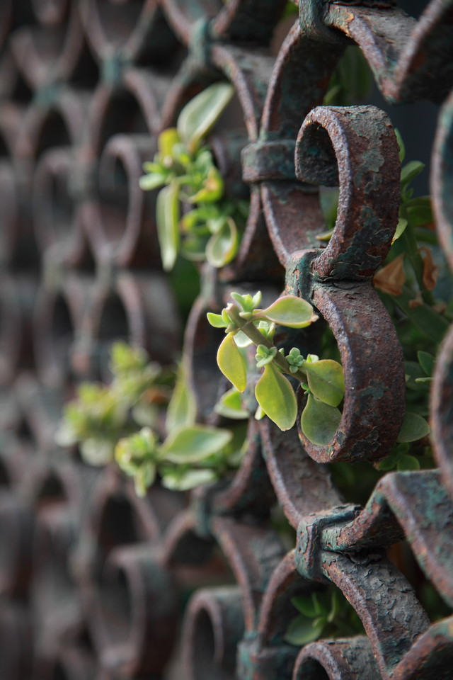 Plants growing through a rusted fence in Venice, Italy