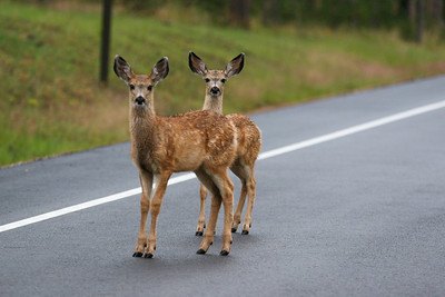 Twin Deer in the Headlights
