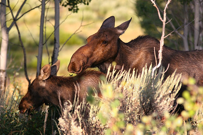 Moose and her Calf outside our cabin