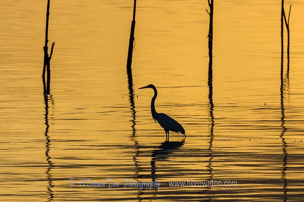 Great Heron in early dawn.