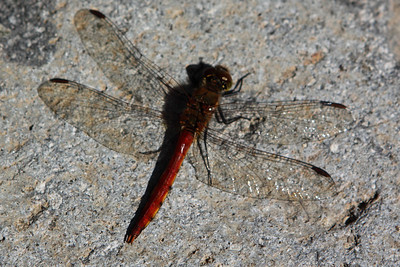 Dragon flies filled the air in Sakudaira and its surrounds in lightly weaving clouds. Individual dragonflies, like this one, rested in warm spots.