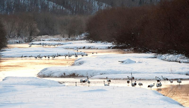Japanese cranes (Tancho) from Otowa Bridge at sunrise. 日出音羽桥