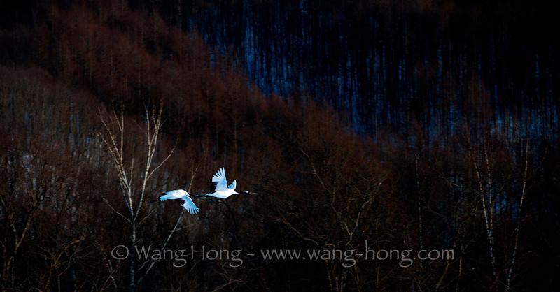 Cranes flying at the Akan International Crane Centre, reminding me of Japanese paintings and kimono designs. 在阿寒国际丹顶鹤中心飞翔的丹顶鹤,让我想起日本的绘画和和服设计。