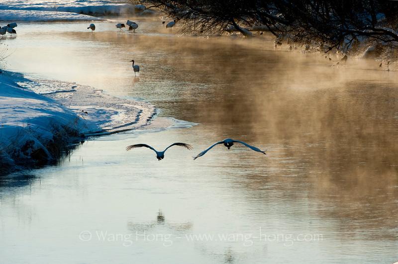 Japanese cranes seen from Otowabashi near Kushiro at sunrise. 日出时在钏路附近的音羽桥看到丹顶鹤群。