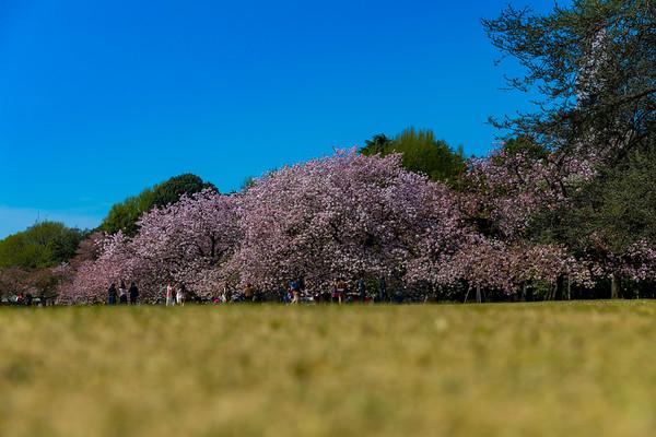 Cherry Blossoms at the Shinjuku Gyoen National Garden in Tokyo, Japan