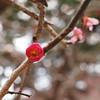 Plume tree blossom
