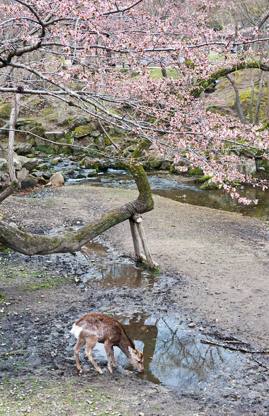 Deer and cherry tree by creek out side Todai-ji Temple 奈良东大寺外的鹿和樱花