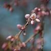 Sakura buds 待放的樱花