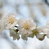 Pear blossom outside the Kyoto Royal Palace 梨花怒放