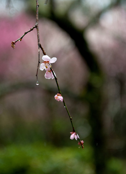 Cherry blossoms in the rain at Ryonji Temple
