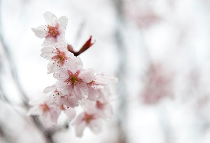 Sakura in the rain 雨中的樱花