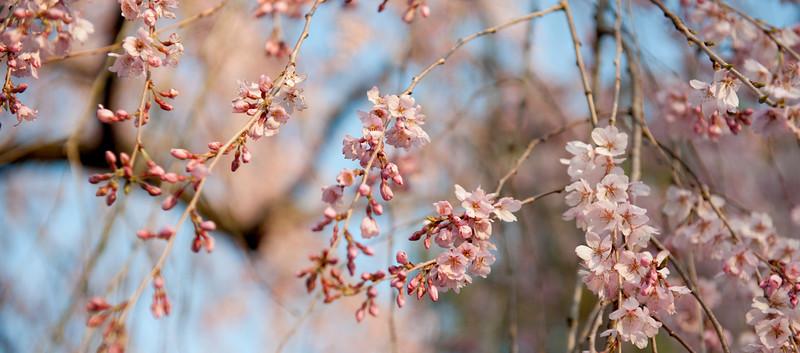 Sakura blossom 樱树