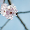 Sakura blossom 樱花绽放