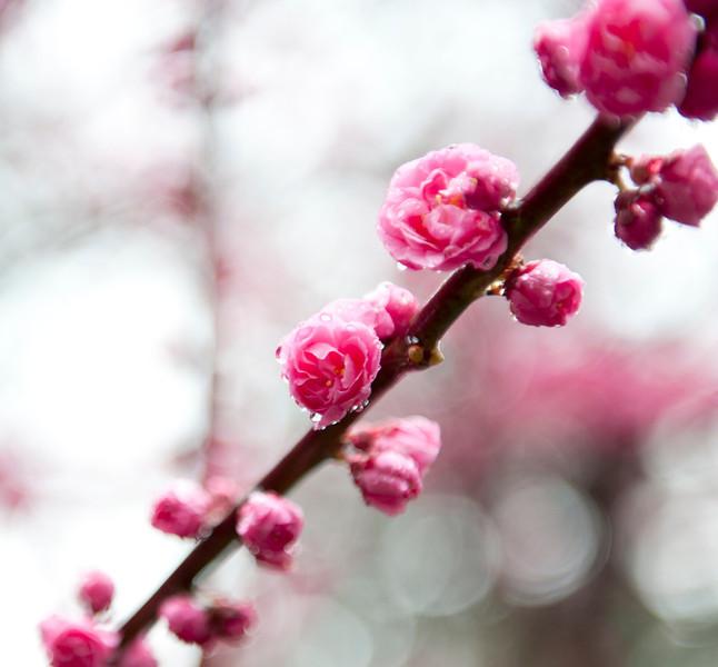 Plum blossom in the rain 雨中的梅花