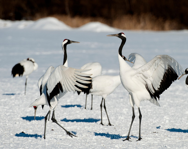 A pair of cranes put on a beautiful and elegant dancing show.