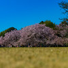 Cherry Blossoms at the Shinjuku Gyoen National Garden in Tokyo, Japan