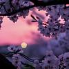 Cherry Blossoms, Saga, Japan