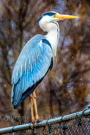Heron on Fence - Copyright 2017 Steve Leimberg - UnSeenImages Com _Z2A2695