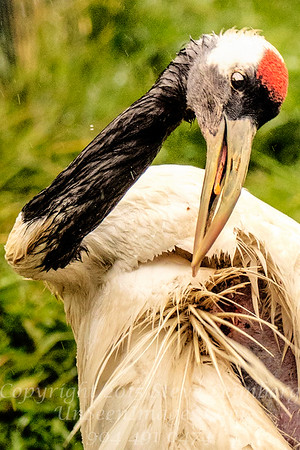Red Crowned Crane Preening - Copyright 2017 Steve Leimberg - UnSeenImages Com _Z2A2712